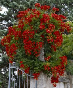 Scarlet Campsis Trumpet Vine - Set of Two by Cottage Farms Direct on today! Climbing Flowers, Climbing Vines, Trees And Shrubs, Trees To Plant, Campsis, Flowering Vines, Types Of Soil, Garden Photos, Dream Garden