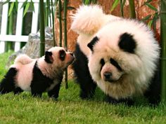 Funny dyed dogs to look like pandas