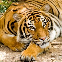big cats - Hledat Googlem