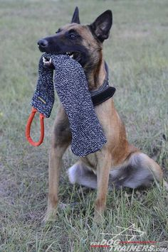 Dog Owners Can Help Reduce Dogs Biting the Mailman or UPS Driver Dog Training Equipment, Belgian Malinois Dog, Dog Muzzle, Training Your Puppy, German Shepherd Dogs, German Shepherds, Working Dogs, Dog Leash, Dog Supplies