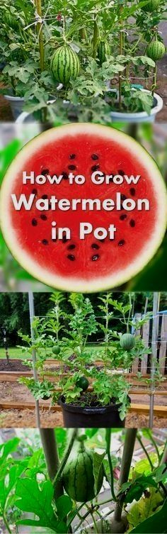 Learn how to grow watermelon in pots. Growing watermelon in containers allow this big, sweet and juicy fruit to grow in smallest of spaces. #GardeningTips