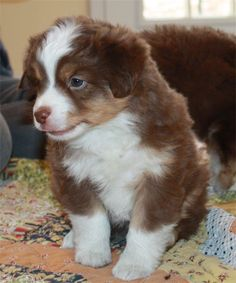 Daisy Hill Aussies - Puppies -Rosi & Swagger