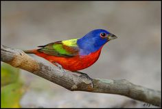 Painted Bunting (Passerina ciris), found in Texas, Oklahoma, Arkansas, Florida, Georgia, South Carolina, Louisiana, and northern Mexico. Its populations are declining; its capture is illegal; but, it is not yet considered officially threatened.