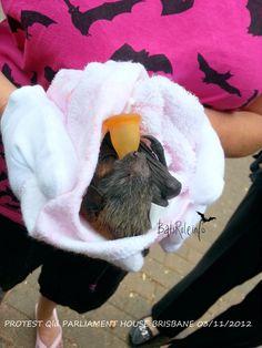 PROTEST QUEENSLAND PARLIAMENT HOUSE BRISBANE 03/11/2012 - Megabat, Microbat, flying-fox, fruit bat