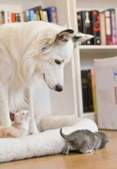 This reminds me of Duchess and all the kittens we had. She was a German Shepard too!