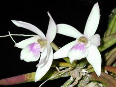 Leptotes mogyensis - Leptotes mogyensis is a species of orchidendemic to southeastern Brazil. Miniature Orchids, Flower Images, Alice, Miniatures, Garden, Orchid Flowers, Beautiful, Backyard, Organic
