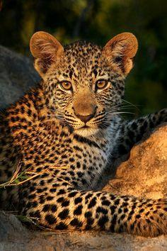 "heaven-ly-mind: ""Leopard Cub Pose by Rudi Hulshof on Big Cats, Cool Cats, Beautiful Cats, Animals Beautiful, Cute Baby Animals, Animals And Pets, Wild Animals, Leopard Cub, Snow Leopard"