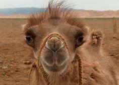 monoglian camel