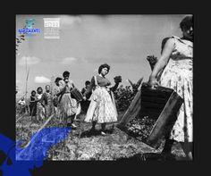 Campesinas trabajando en el corte de la uva ( Galería de la Casa de la Amistad )
