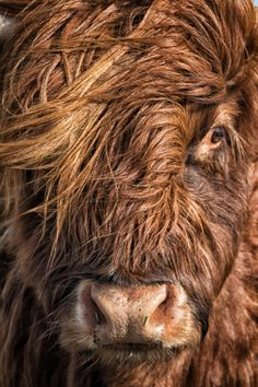 A windswept but well lit model was used here. She was a pleasure to work with, even though some had warned me she might be a moody cow!!!  Red Highlands Cow