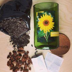 Plant our upcycled Mini Sunflower Bottle now to welcome spring. #upcycled #winebottle #sunflower #pottingshedcreations #seeds #garden #gardener