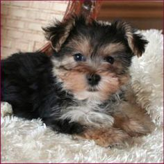I need one of these Morkies :)