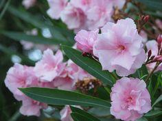Oleandry są piękną rośliną na balkon lub taras!