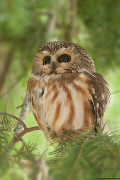 Northern Saw-whet Owl, the furby of the animal kingdom! One of my favorite species of owl! Beautiful Owl, Animals Beautiful, Cute Animals, Owl Bird, Pet Birds, Saw Whet Owl, Nocturnal Birds, Owl Pictures, Photo Chat