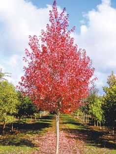 Redpointe Maple, (Acer rubrum 'Frank Jr').  Upright, pyramidal maple, some of the best foliage of any red maple.