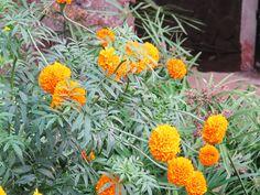 Marigold flowers (Tagetes)