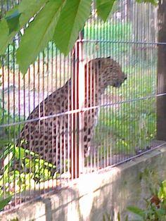 Amur Leopard, at Helsinki's Korkeasaari Zoo