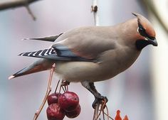 Waxwings are Wild -- special attributes of bohemian waxwing and cedar waxwing, (Bohemian Waxwing and Cedar Waxwing) incl observations of waxwings in San Diego County, California