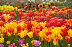http://leafde.blogspot.se/2012/05/tulips-of-lisse-and-vicinity.html