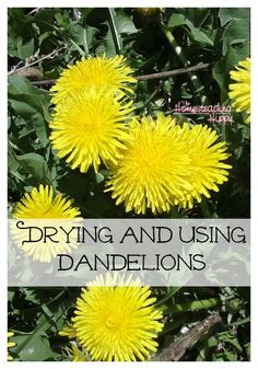 Dandelions have so many wonderful uses! Learn how to dry and use them here! The Homesteading Hippy