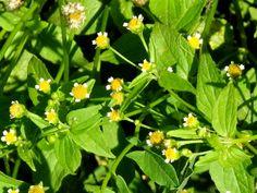 Knopfkraut kleinblütiges, Franzosenkraut (Galinsoga parviflora), mit Blüten
