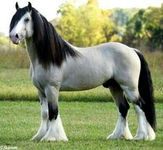 Taskin - champagne buckskin Gypsy Vanner, Taskin. He is a champion in Pleasure Driving and under saddle events. Taskin's beauty is so undeniable, he's been recreated as Breyer horse.