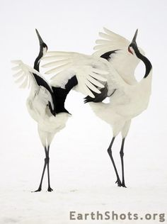 Dancing Japanese cranes.