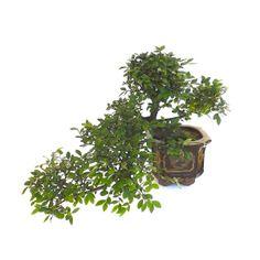 Un très beau Bonsai Orme de Chine en Cascade de 40 cm ORM140507, Acheter votre Bonsai en Ligne chez un Spécialiste du Bonsaï