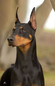 """Cupid"" GCh. Foxfire's Love Monster, CD ROM - Beautiful head shot of Cupid. Currently one of the top 200 Dobeys in the US."