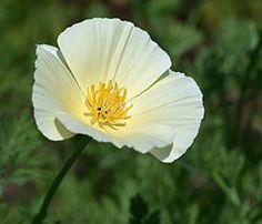 Eschscholzia californica - Wikipedia, the free encyclopedia
