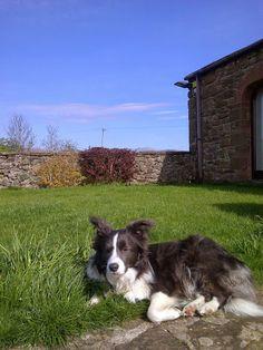 Border Collies sure do love to sunbathe!