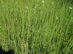 Equisetum hyemale, commonly known as rough horsetail, scouring rush, and scouringrush horsetail; and in South Africa as snake grass. It is a perennial herb within the Pteridophyta (fern) classification.