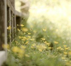 buttercups http://pinterest.com/pin/406168460113067575/repin/
