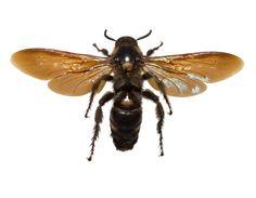 Scolia procera, digger wasp, dried specimen, India