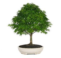 """Our Japanese Maple Bonsai Tree for sale is a priceless piece of natural art. It really adds the """"wow"""" factor to your home, business, or patio. If need a decoration idea or gift idea, look no further than this beautiful bonsai tree! Outdoor Bonsai Tree, Bonsai Trees For Sale, Indoor Bonsai, Ficus Bonsai, Bonsai Seeds, Bonsai Plants, Japanese Maple Bonsai, Bonsai Styles, Miniature Trees"""