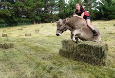 Nowa Zelandia. Tresowana krowa skacze przez przeszkody
