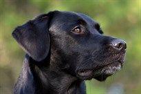 Labrador Retriever   Zookie - Conscious Pet Parenting