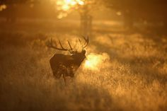"""A Red Deer stag roars in the early morning light in Richmond Park in London, England, on October Autumn sees the start of the """"Rut."""