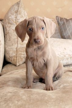 weimaraner...OMG! Have one of these dogs for like ever now!