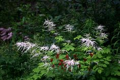 Goat's Beard (Aruncus dioicious) is complimented by Indian Pink (Spigelia marilandica) in early summer in this shade garden that highlights native plants
