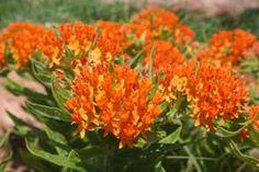 orange glory butterfly plant