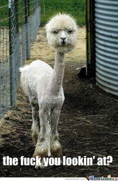 Shaved Alpaca...