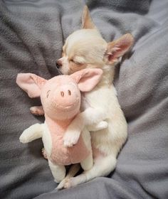 Chihuahua Puppies, Cute Dogs And Puppies, Baby Dogs, Doggies, Baby Animals Pictures, Cute Animal Pictures, Animals And Pets, Cute Little Animals, Cute Funny Animals