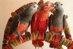 Someone in South Africa has bred the first ever all red African Grey Parrot!  Here is a photo of the bird, in the centre.