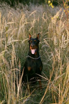 doberman Doberman, Panther, Dogs, Animals, Animales, Animaux, Panthers, Pet Dogs, Doggies