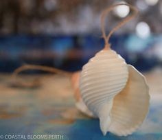 Coastal Christmas  Tonna Shells x 2