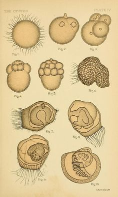 Oyster Larvae  From:The oyster; a popular summary of a scientific study. By William K. Brooks
