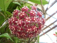 Hoya pubicalyx (Wax Plant, Porcelain Flower) is a fast growing, woody, epiphyte or scrambling shrub up to 10 feet m) long, with large. Planting Succulents, Planting Flowers, Epiphyte, Compost Tea, Big Plants, Flowering Plants, Home Garden Plants, Flower Seeds, Tropical Flowers