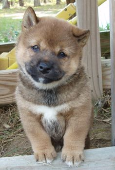Amazing Wolf Chubby Adorable Dog - 023c90cfc383e0920a407cdda5912e7d--wolf-pup-a-wolf  You Should Have_954842  .jpg