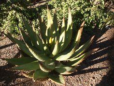 """Aloe.  Conocida también como """"sábila"""", el aloe tiene múltiples propiedades medicinales y de consumo humano."""